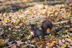 Eichhörnchen zerfrisst Nuss, Herbstlaub Stockbilder