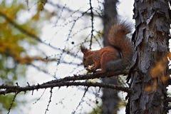 Eichhörnchen zerfrisst Süßigkeit auf Baum Stockfotografie