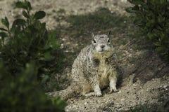 Eichhörnchen zwischen Büschen Stockbild