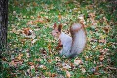 Eichhörnchenabendessenerwartung sitzt lustiges vorbildliches zoon rotes bezstrashnaya die geschickten schönen Wartezeiten, die ei Stockfotos