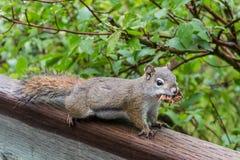Eichhörnchenaufstellung Stockbild