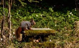 Eichhörnchenaufstellung Lizenzfreies Stockbild