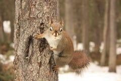 Eichhörnchenaufwartung stockbilder