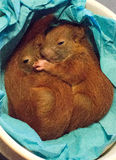 Eichhörnchenbabys Lizenzfreie Stockbilder