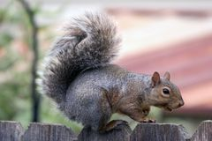 Eichhörnchenbesuch Stockbild