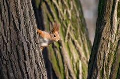 Eichhörnchenblick heraus vom Baum Stockbild