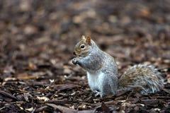 Eichhörnchenessen Stockfotos