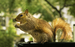 Eichhörnchenessen Stockbild
