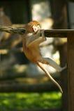 Eichhörnchenfallhammer Lizenzfreies Stockbild