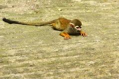 Eichhörnchenfallhammer Lizenzfreie Stockfotos