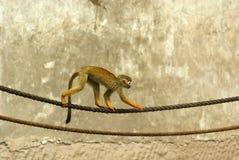 Eichhörnchenfallhammer Stockfotografie