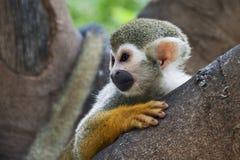 Eichhörnchenfallhammer stockbilder