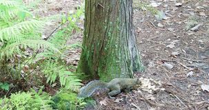 Eichhörnchenherumsuchen stock video