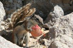 Eichhörnchenholdingnahrung Stockbilder