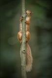 Eichhörnchenklettern. Lizenzfreies Stockbild