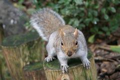 Eichhörnchenmodell Stockbild