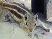 Eichhörnchenniederlegung Stockfotografie