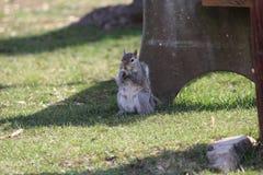 Eichhörnchenphotographie-Bildnahaufnahme der Naturwild lebenden tiere Stockfotografie