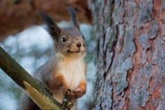 Eichhörnchenporträt Lizenzfreies Stockfoto