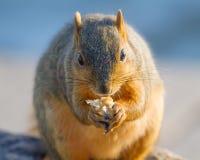 Eichhörnchenporträt Stockbild