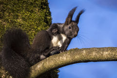 Eichhörnchenporträt stockfoto