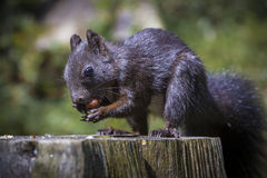 Eichhörnchenporträt, das Nüsse isst lizenzfreies stockbild