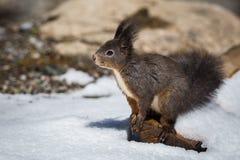 Eichhörnchenporträt mit Schnee stockfotografie