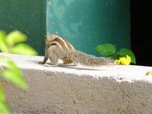 Eichhörnchenrückseitenhaltung, die Gefahr und Druck zeigt Stockbilder