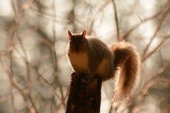 Eichhörnchenschattenbild mit bokeh Hintergrund Stockbild