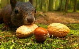 Eichhörnchenschwarzes und -nüsse Stockfotografie