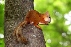 Eichhörnchensitzen Stockfotografie