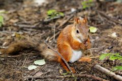 Eichhörnchensitzen Stockfotos