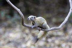 Eichhörnchenstand auf Kriechpflanze in wildem Stockfotos