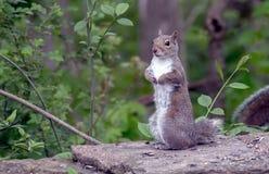 Eichhörnchenstellung auf seinen Hinterbeinen lizenzfreie stockfotografie