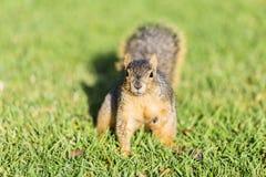 EichhörnchenwarteLebensmittel Stockbilder
