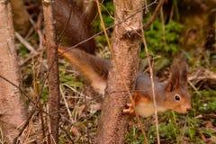 Eichhörnchenyoga Stockfotos