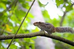 Eichhörnchenzeigen lizenzfreie stockfotografie