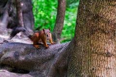 Eichh?rnchen, das auf einem Baum sitzt Auf die Niederlassungen zu Boden für die Samen unten springen, die Leute holen stockfoto