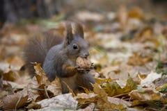 Eichh?rnchen mit einer Nuss im Herbstlaub lizenzfreie stockfotografie