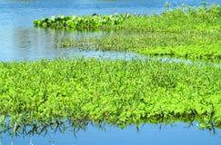 Eichhornia crassipes在沼泽地和河 图库摄影