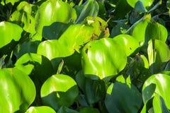 Eichhornia crassipes荷花 库存照片