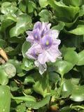 Eichhornia crassipes, υάκινθος νερού στοκ εικόνες με δικαίωμα ελεύθερης χρήσης