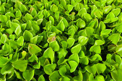 Eichhornia crassipes河 免版税库存图片