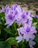 Eichhornia crassipes oder Wasser-Hyazinthe Lizenzfreies Stockbild