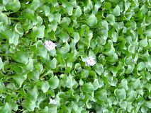 Eichhornia crassipes Mart Solms Στοκ φωτογραφίες με δικαίωμα ελεύθερης χρήσης