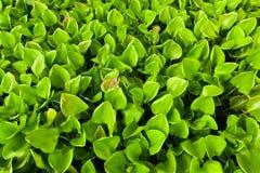 Eichhornia crassipes rivieren Royalty-vrije Stock Afbeelding
