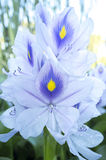 Eichhornia crassipes or water hyacinth flower Royalty Free Stock Photos