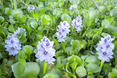 Eichhornia crassipes or water hyacinth flowers Stock Images