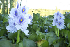 Eichhornia crassipes or water hyacinth flowers Stock Photos