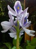 Eichhornia crassipes royalty free stock photo